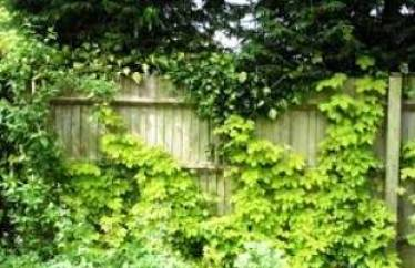 Хмель - растение, фото