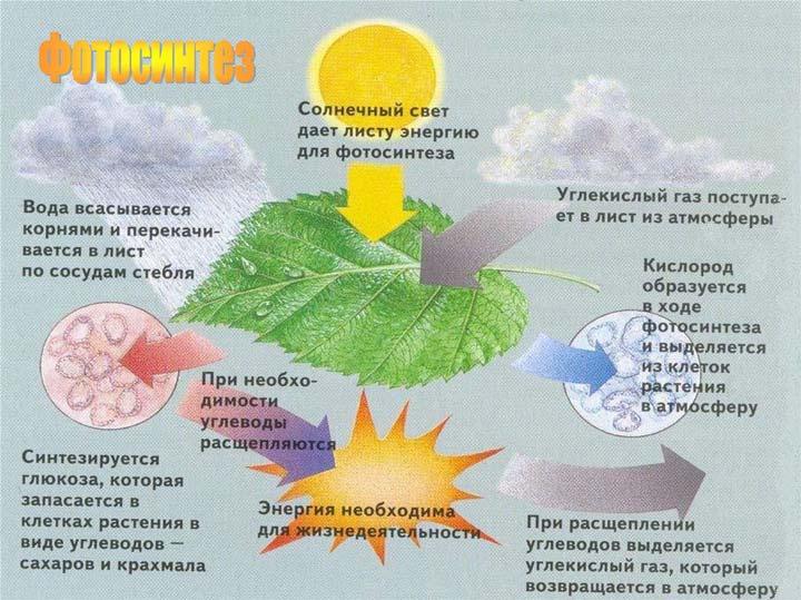 цвет листа и фотосинтез относящиеся сорту веселые