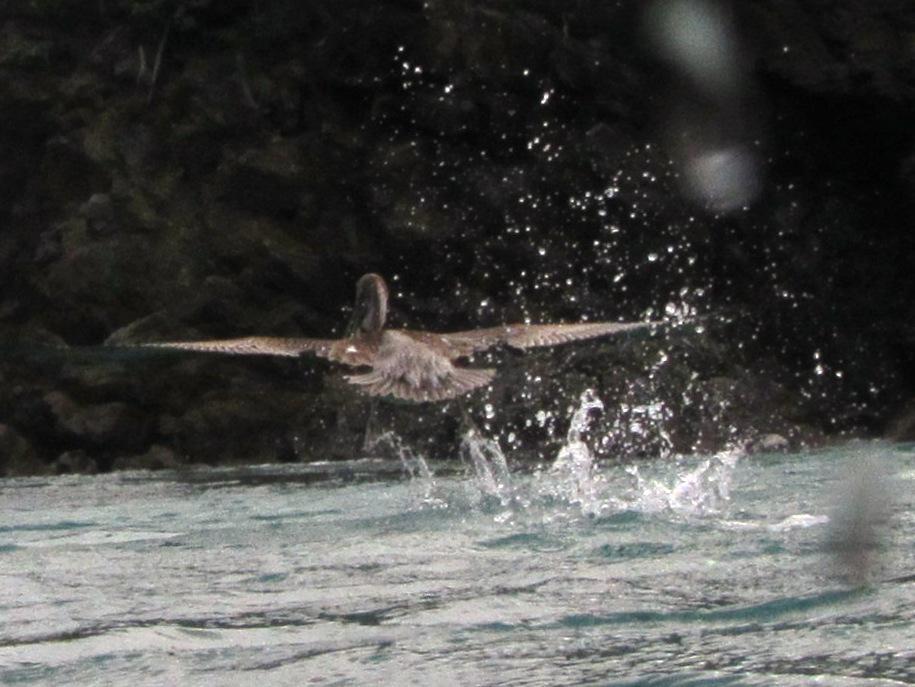 Pelican skimming the water