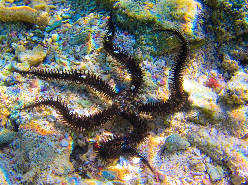 The Echinoblog: Crazy Weird Friday: Brittle Stars from the ...  |Brittle Starfish Life Cycle