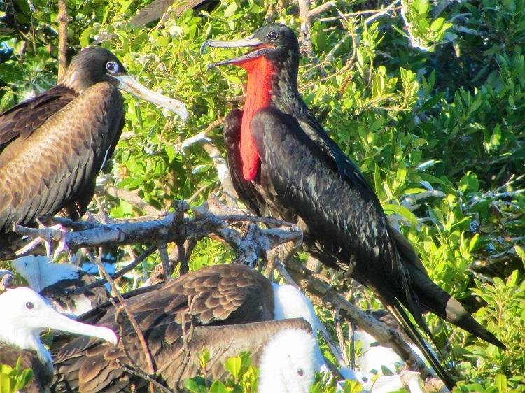 Frigate birds in Barbuda