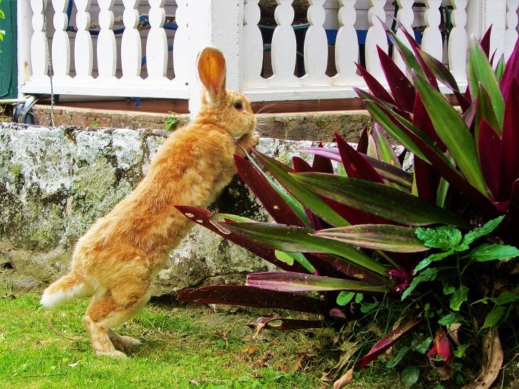 A rabbit on Saba