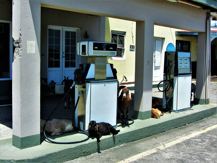 Statia - Goats At a gas Station