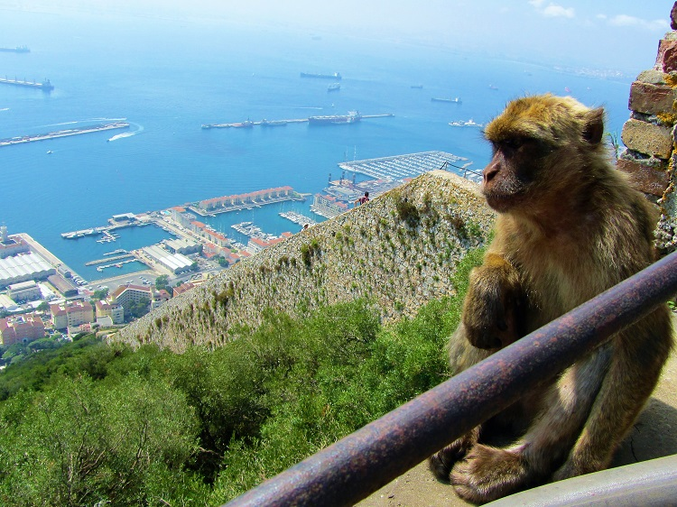 Barbary macaques on Gibraltar