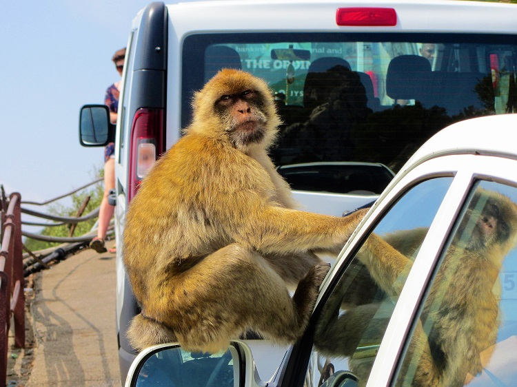 Gibraltar - Barbary Macaques