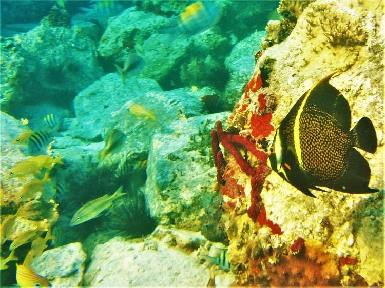 Underwater - French Angel Fish