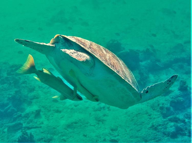 Underwater - Turtle & Ramora Diving Down