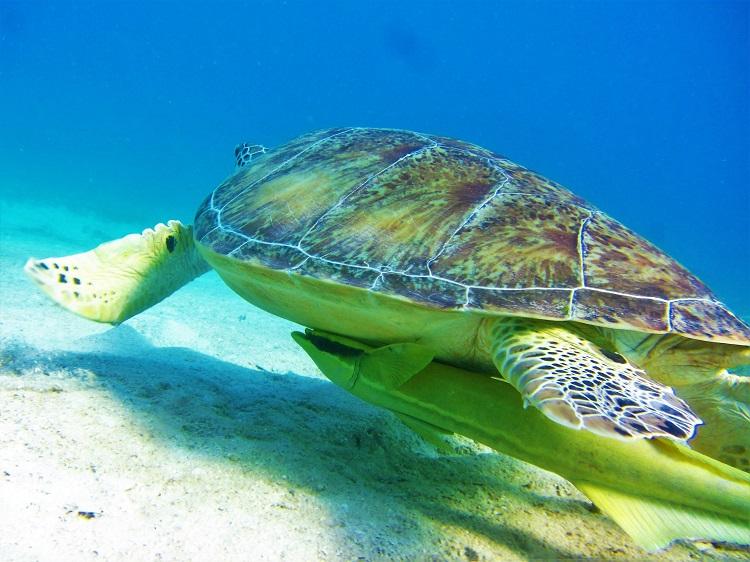 Turtle & Ramora Swimming Away