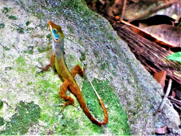 Lizard in the botantical garden