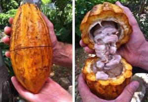 Grenada Chocolate Company - cocoa pods
