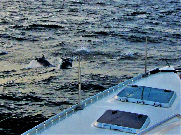 Dolphins at sea