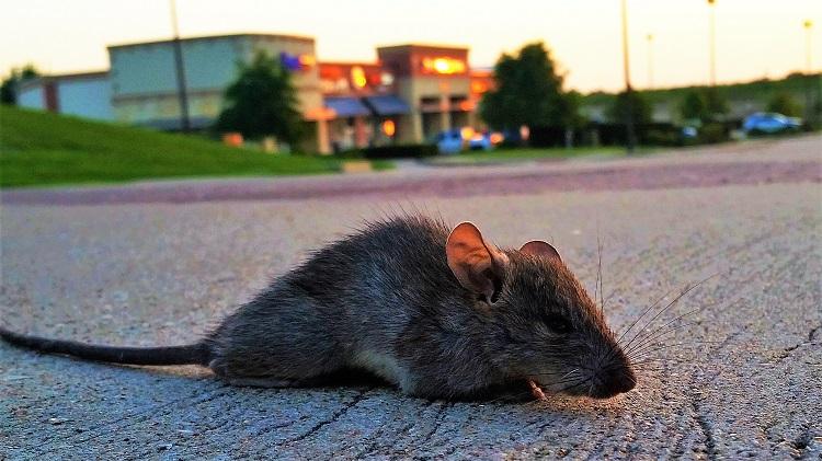 Rat In The Street