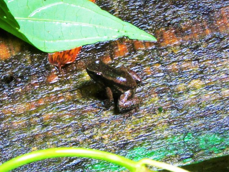 Frog at the Asa Wright Center