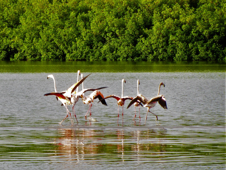 Flamingos in the Caroni Swamp