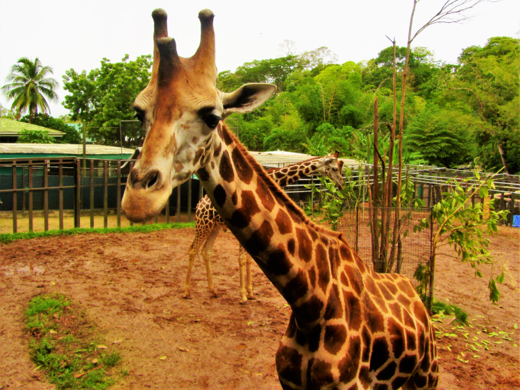 Giraffe at Trinidad zoo