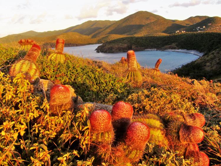 Ram Head - turks head cactus