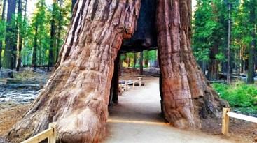 Yosemite - Mariposa Grove 4
