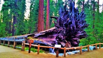 Yosemite - Mariposa Grove 3