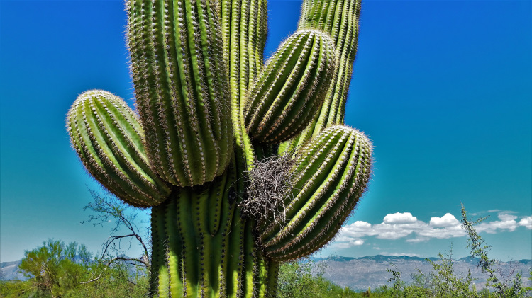 USA - AZ - Saguaro NP POTD 1
