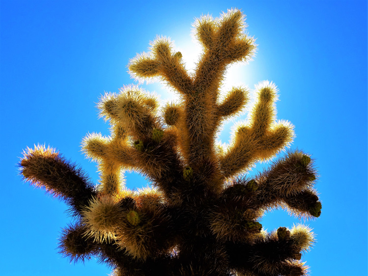 Joshua Tree - Cholla POTD
