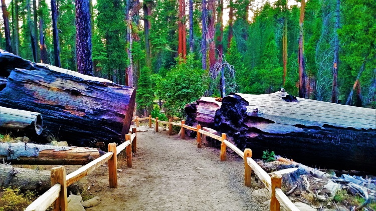 Sequoia National Park- Log cut for path