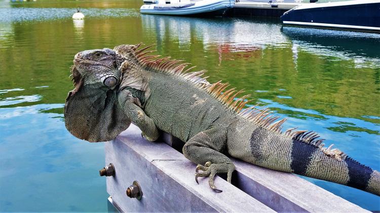 Anse Marcel - Iguana