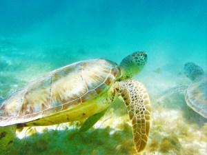 Tobago Cays turtles 3