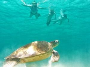 Tobago Cays turtles 1