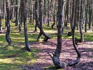 Russia - Kaliningrad - Curonian Spit - Dancing Trees 1