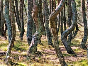 Russia - Kaliningrad - Curonian Spit - Dancing Trees 2