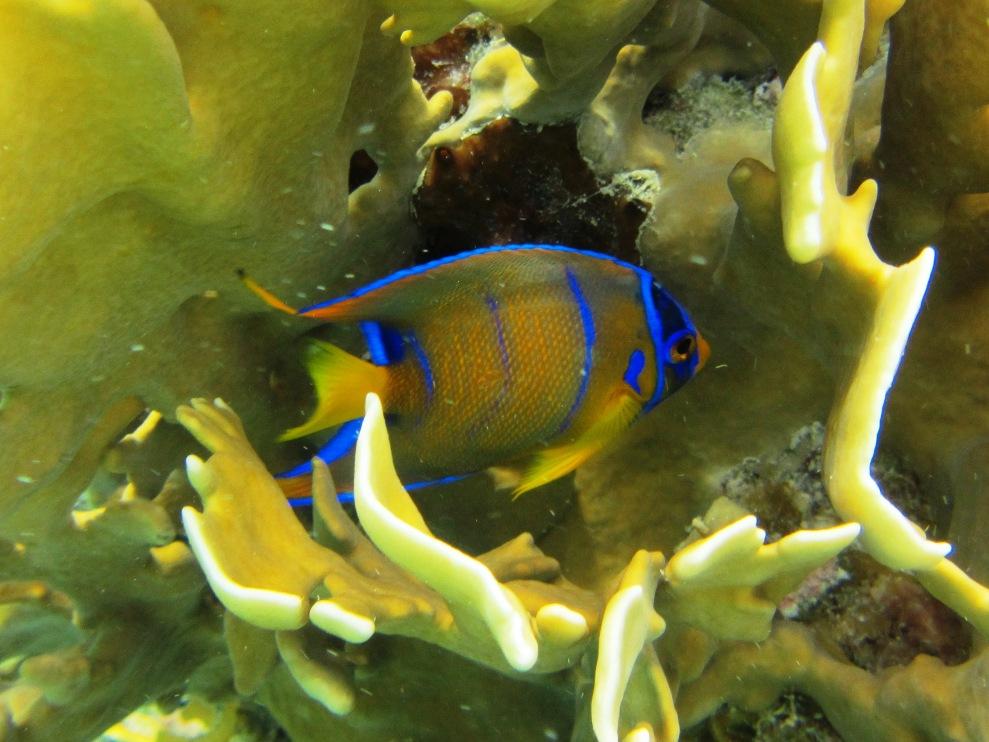 Adolescent queen angelfish