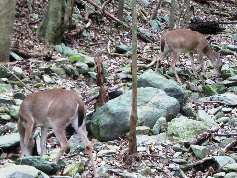 Deer on St John