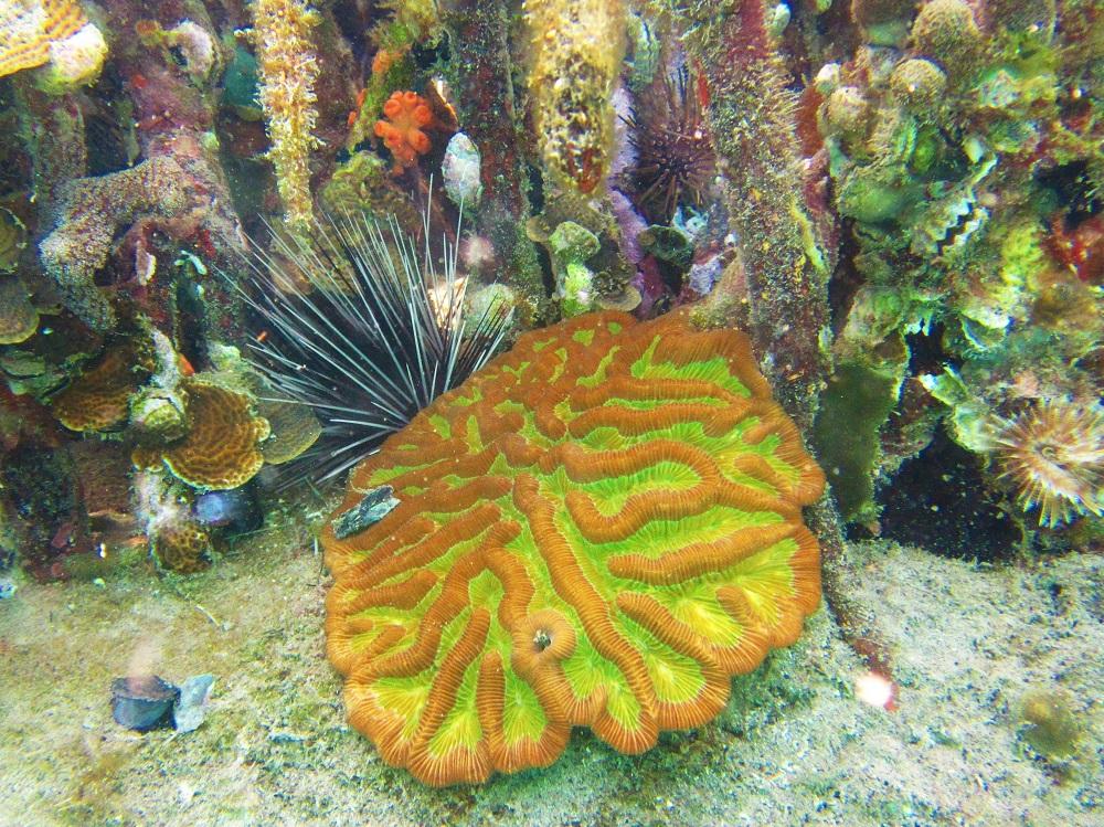 Mangroves - Brain Coral