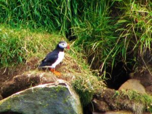 Iceland - 9 Puffins - 1 Of Them