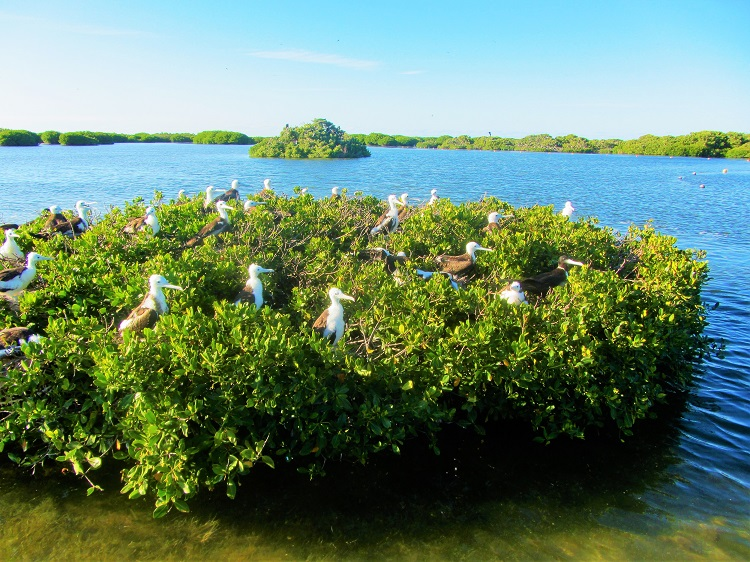 Frigate birds in Barbuda 4