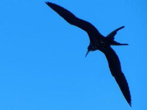 Frigate birds in Barbuda 2