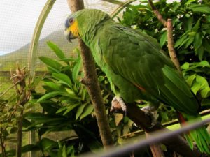 Parrot at the garden on Nevis