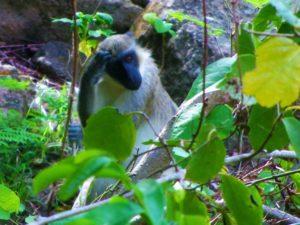 Nevis green back monkeys 2
