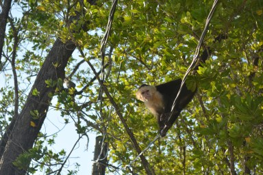 Lucy's nemesis, mean monkey in Roatan loved to taunt her.