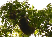 Mama and baby sloth -slow lane experts