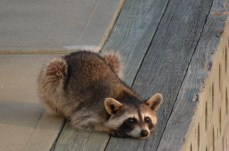 Charleston Raccoon try to visit us on the boat, but Lucy had non of it.