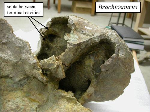 brachiosaurus-byu-500.jpg