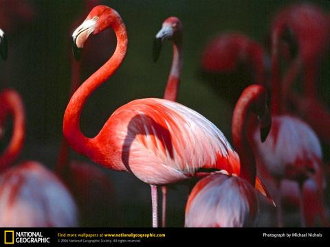 greater-flamingo-ng 480
