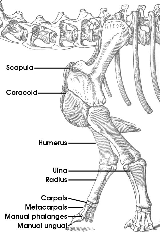 human foot skeleton diagram labeled venn problems and solutions tutorial 15: the bones of sauropod | vertebra picture week