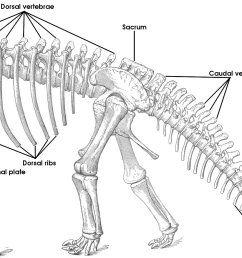 tutorial 15 the bones of the sauropod skeleton sauropod pelvis bone diagram spine diagram bones [ 1331 x 930 Pixel ]