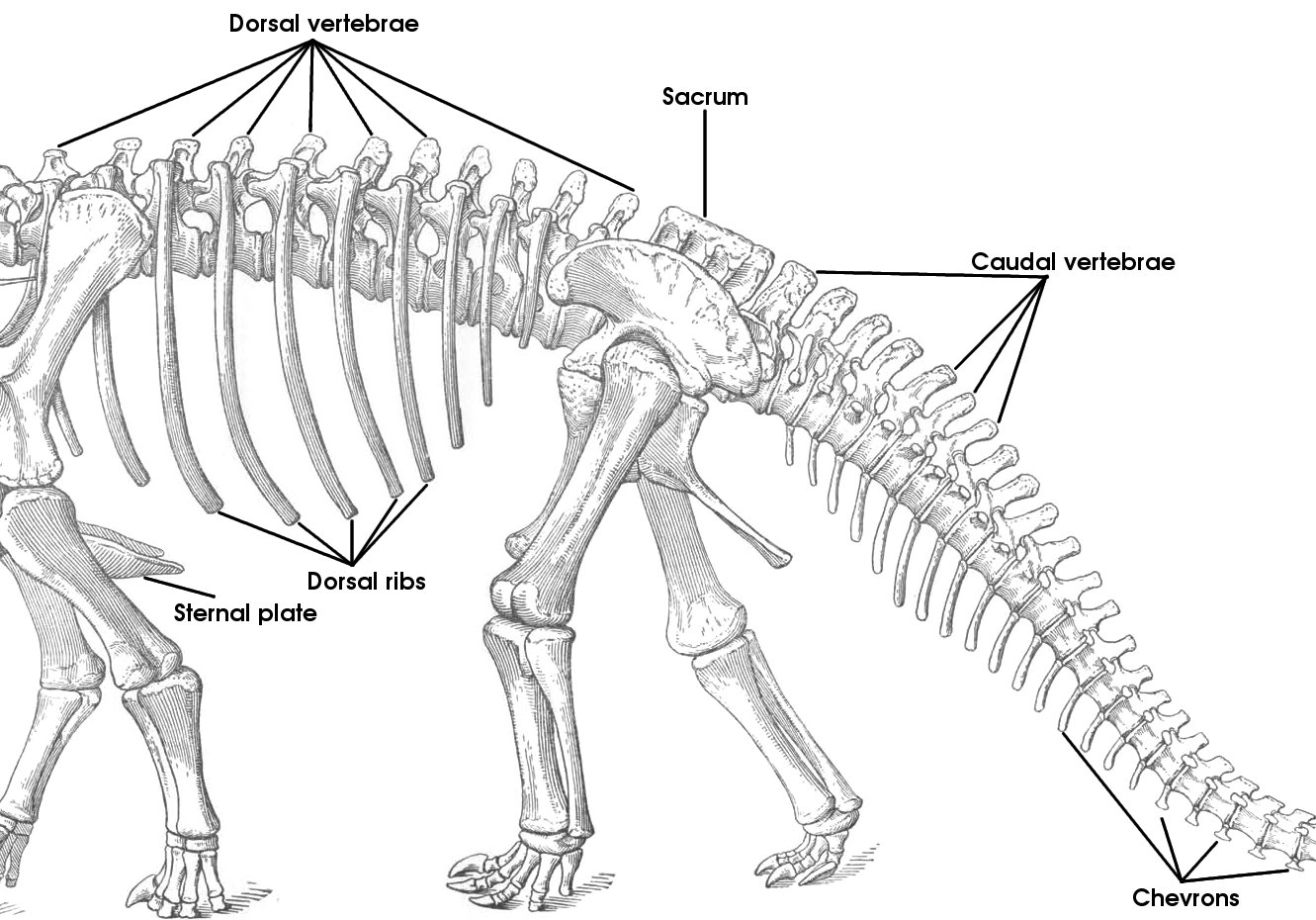 hight resolution of tutorial 15 the bones of the sauropod skeleton sauropod pelvis bone diagram spine diagram bones
