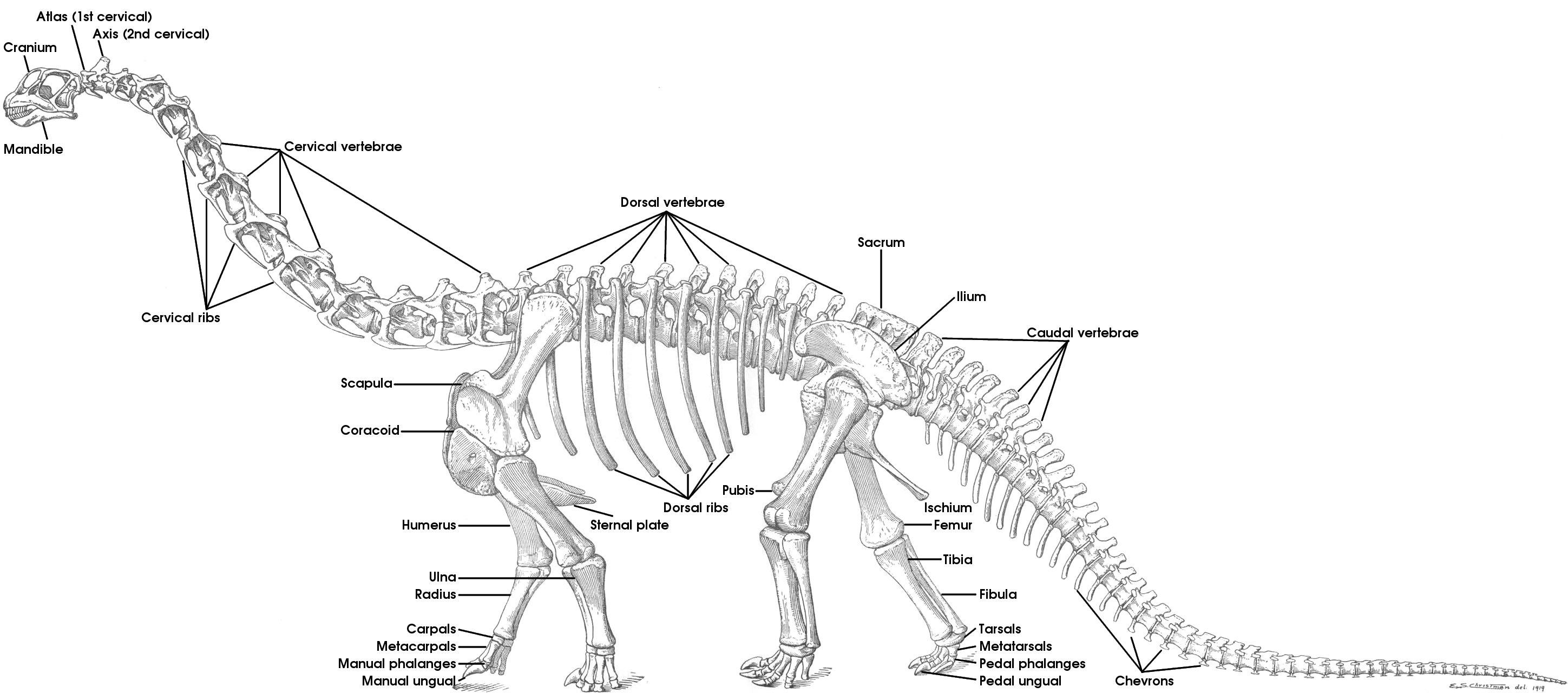 bones skeleton diagram with labels 240v to 12v transformer wiring tutorial 15 the of sauropod