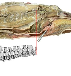 alligator head and neck sagittally bisected head and neck of american alligator [ 1816 x 1220 Pixel ]