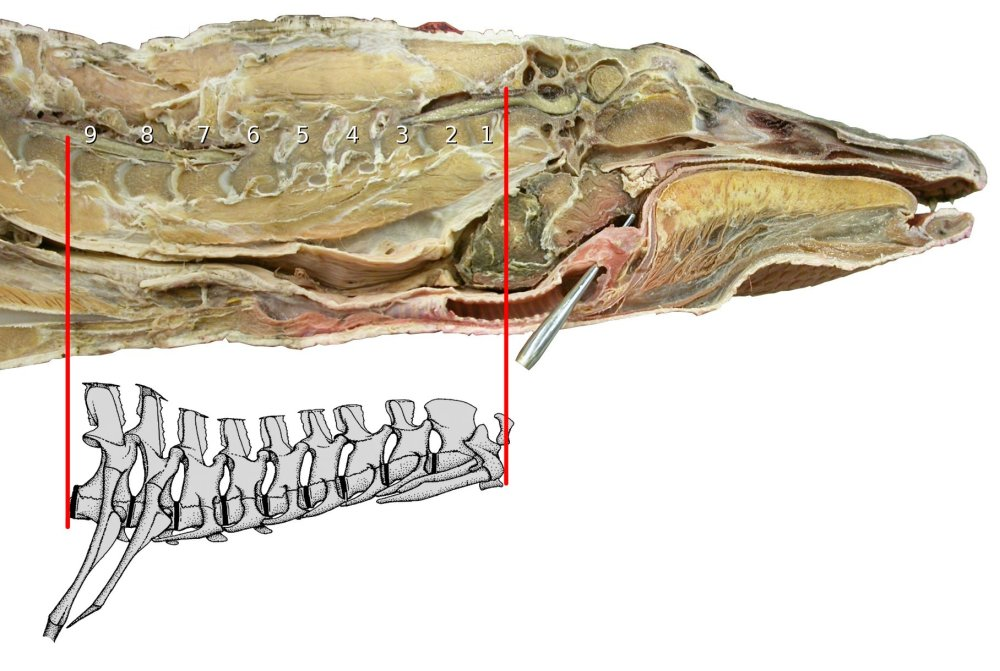 medium resolution of alligator head and neck sagittally bisected head and neck of american alligator
