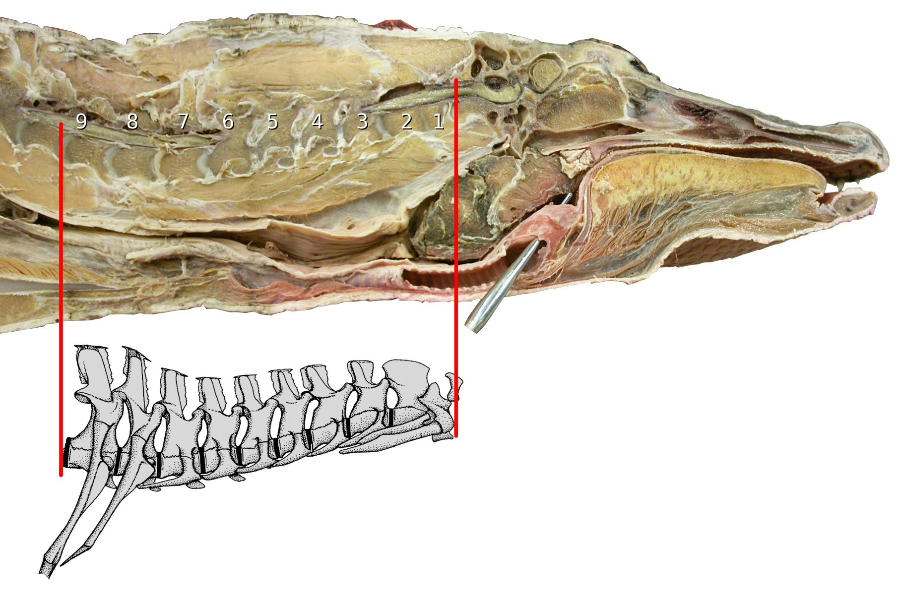 hight resolution of alligator head and neck sagittally bisected head and neck of american alligator